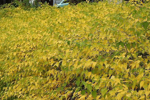 黄葉 ヤマブキ