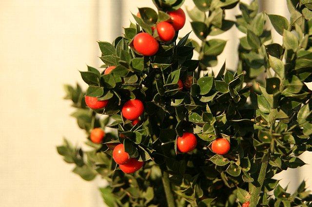 クリスマスベリー1