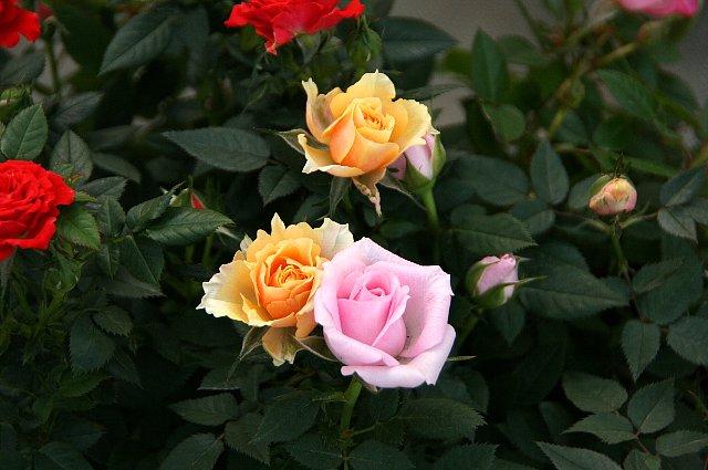 ミニ薔薇 寄せ植え2