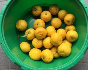 少しだけ柚子収穫