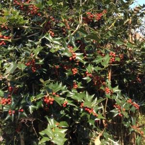 柊の赤い実