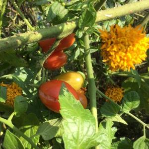 畑入り口のミニトマト