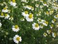 H28.4.15ジャーマンカモマイルの花(拡大)@IMG_8391