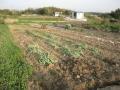 H28.4.16冬野菜撤去(4a)@IMG_8381