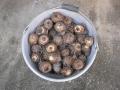H28.4.17サトイモ種芋@IMG_8397