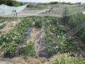 H28.4.22大実イチゴに防鳥網@IMG_8454