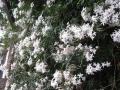 H28.4.25ジャスミンの花@IMG_8482