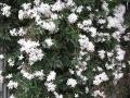 H28.4.25ジャスミンの花@IMG_8483