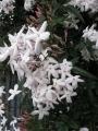 H28.4.25ジャスミンの花(拡大)@IMG_8475