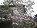 H28.4.25アメリカハナミズキの花@IMG_8488