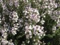 H28.5.3コモンタイムの花(拡大)@IMG_8558