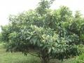 H28.5.27(早生)ビワの樹の様子@IMG_8755
