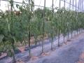 H28.6.2大玉トマトの整枝後@IMG_8822