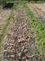 H28.6.11赤玉葱収穫開始@IMG_8926