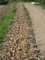 H28.6.11晩生タマネギ収穫開始@IMG_8928