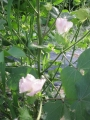 H28.8.10綿花の花(拡大)@IMG_9224
