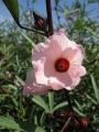 H28.9.10ピンク花ローゼルの花2(拡大)@IMG_9449