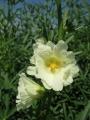 H28.9.10白花ローゼルの花(拡大)@IMG_9456
