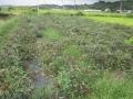 H28.9.21ローゼル台風16号被害(No.2畑)@IMG_9511