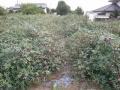 H28.9.21ローゼル台風16号被害(No.4畑)@IMG_9520