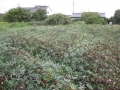 H28.9.21ローゼル台風16号被害(No.5畑)@IMG_9522