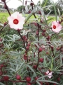 H28.9.28ピンク花ローゼルの花と実(拡大)@IMG_9578