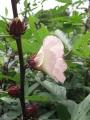 H28.10.4ピンク花ローゼル(oki)の花@IMG_9633
