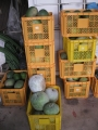 H28.10.9トウガン収穫(10k)@IMG_9672