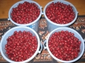H28.10.10ピンク花ローゼル収穫③(20k)@IMG_9692