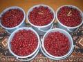 H28.10.30ピンク花ローゼルの実収穫K①(30k)@IMG_9849