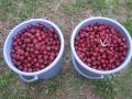 H28.11.2ピンク花ローゼルの実収穫(10.5K)@IMG_9897