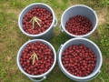 H28.11.2ピンク花ローゼルの実収穫(18.5k)@IMG_9893