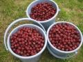 H28.11.2ピンク花ローゼルの実収穫(18.5k)@IMG_9896