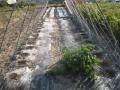 H28.11.5エンドウ種蒔き(3種類)@IMG_9912
