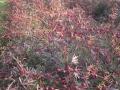 H28.11.7種取り用のピンク花ローゼルの様子(No.1畑)@IMG_9921