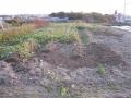 H28.11.25サツマイモの様子⑤@IMG_0052