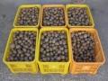 H28.12.3キウイフルーツの実収穫③(140k)@IMG_0103