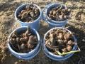 H28.12.16サトイモ収穫③@IMG_0166