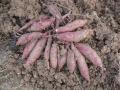 H28.12.17サツマイモ収穫(拡大)@IMG_0179