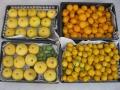 H28.12.24スウィーティー収穫①、ユズ収穫③@IMG_0216