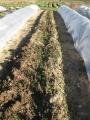 H28.12.28アンデスレッド収穫@IMG_0262