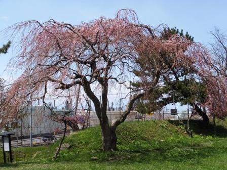 陣屋の桜1