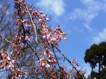 陣屋の桜2