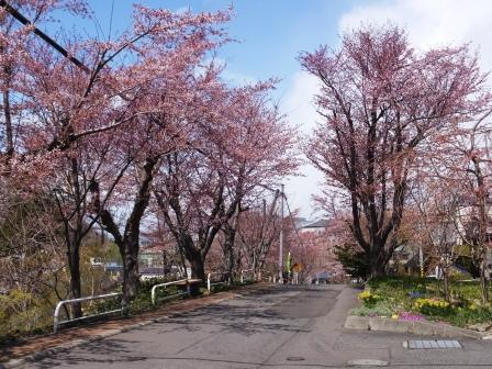 母恋の桜1