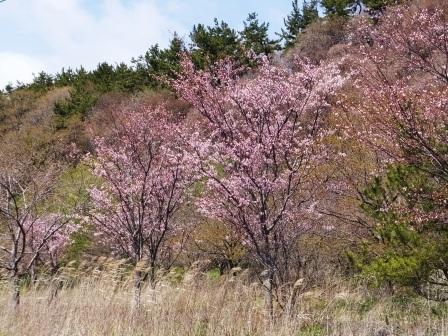 崎守の桜1
