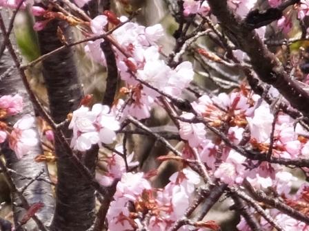崎守の桜2