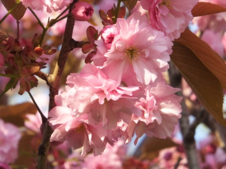 祝津の桜3