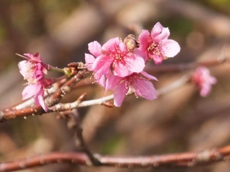 地球岬の桜