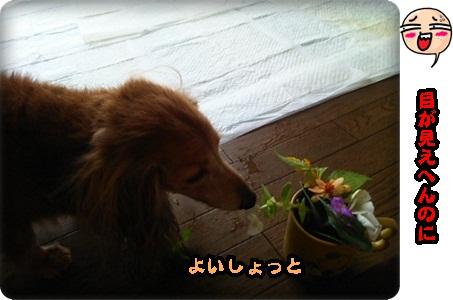 おんぷ花1DSC_3481