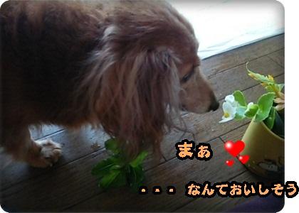 おんぷ花1DSC_3482